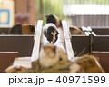 大牟田市動物園 モルモット、 40971599