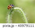 てんとう虫 40979111