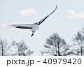 丹頂 丹頂鶴 鶴の写真 40979420