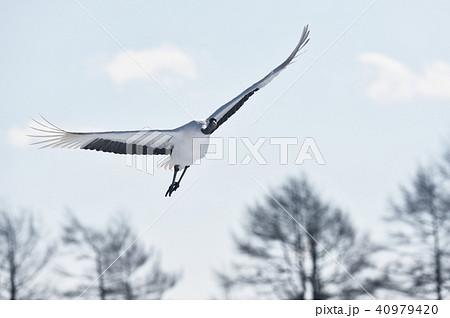 正面から飛んでくるタンチョウ(北海道・鶴居) 40979420
