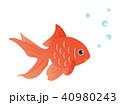 金魚 魚 魚類のイラスト 40980243