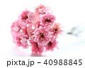 ドライフラワー 花 ピンクの写真 40988845