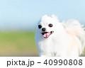 チワワ ロングコートチワワ 犬の写真 40990808