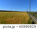 麦 農業 麦畑の写真 40990929