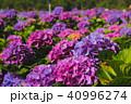 台湾 紫陽花 アジサイの写真 40996274