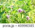アカツメクサ 花 クローバーの写真 40996385