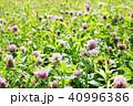 アカツメクサ 花 クローバーの写真 40996386