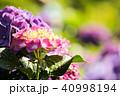 紫陽花 アジサイ あじさいの写真 40998194