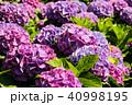 紫陽花 アジサイ あじさいの写真 40998195