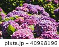 紫陽花 アジサイ あじさいの写真 40998196