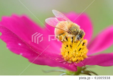 コスモス畑とミツバチ コスモス 自然環境 持続可能 sdgs こすもす 秋 ミツバチ みつばち 蜂蜜 41005938
