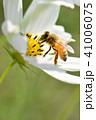 コスモス畑とミツバチ コスモス こすもす 秋 ミツバチ みつばち 蜂蜜 41006075