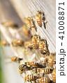昆虫 ハチ ミツバチの写真 41008871