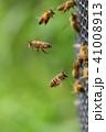 日本ミツバチ 昆虫 ハチの写真 41008913