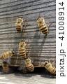 日本ミツバチ 昆虫 ハチの写真 41008914