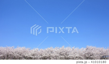 桜の木 41010180