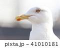 カモメ 鳥 野鳥の写真 41010181