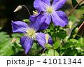 クレマチス 青 花の写真 41011344