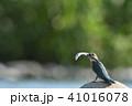 稚鮎をくわえる繁殖期のカワセミ♂ 41016078