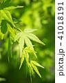 葉 植物 楓の写真 41018191