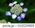 ガクアジサイ アジサイ 花の写真 41020969