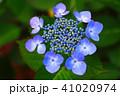 ガクアジサイ アジサイ 花の写真 41020974