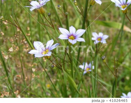 初夏に咲く小さい野草ニワゼキショウの空色の花 41026465