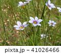 初夏に咲く小さい野草ニワゼキショウの空色の花 41026466