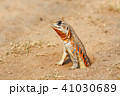 とかげ トカゲ 蜥蜴の写真 41030689