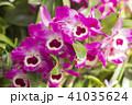 デンドロビウム デンドロビューム 花の写真 41035624