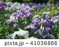 花菖蒲 41036866