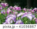 花菖蒲 41036867