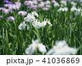 花菖蒲 41036869