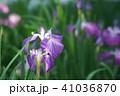 花菖蒲 41036870