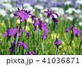 花菖蒲 41036871