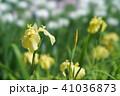 花菖蒲 41036873
