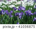 花菖蒲 41036875