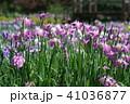 花菖蒲 41036877