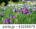 花菖蒲 41036879