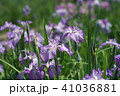 花菖蒲 41036881