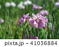 花菖蒲 41036884