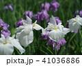 花菖蒲 41036886
