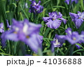 花菖蒲 41036888
