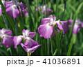 花菖蒲 41036891