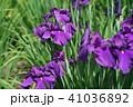 花菖蒲 41036892