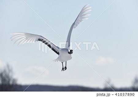 正面から飛んでくるタンチョウ(北海道・鶴居) 41037890