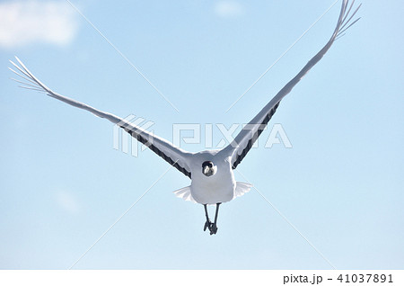 正面から飛んでくるタンチョウ(北海道・鶴居) 41037891