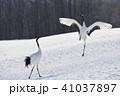 タンチョウ ダンス 鶴の写真 41037897