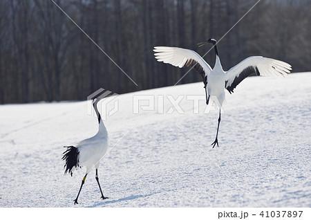 タンチョウのダンス(北海道・鶴居) 41037897