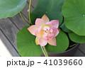 蓮の花 41039660